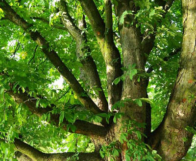 Chestnut - Ruillé Forest (72)