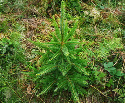 Sitka Spruce - Lanrivain and Plougernevel Forests (22)