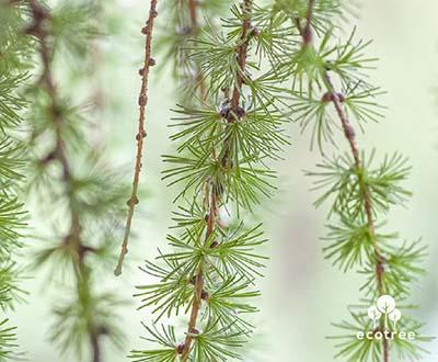 Tallträd - Cleden Poher skogen (29)